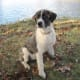 anatolian-shepherdgreat-pyrenees-cross-make-great-livestock-guard-dogs