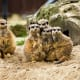 Guess who's the odd man out?  Meerkats seek safety in numbers of up to 40 animals at a time, nestled in underground burrows.  Meerkats are related to the mongoose.