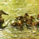 """""""Where's your father when you need him?""""  Mama duck looks after her ducklings."""