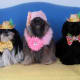 merry-christmas-greeting-card-with-five-shih-tzu-beauties