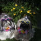 Two of Tom and Judi's Shih Tzu dogs...Sophie and Sadie wearing sunglasses
