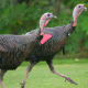 Wild turkeys in New England are thinner than domesticated farm raised birds. They look fatter than they are when displaying their plumage in aggression or courtship.