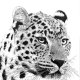 Photo to sketch effect on a leopard picture.