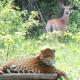 3D cardboard cutout effect of a leopard in a deer photo.
