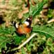 Butterfly on a weed, Lysterfield, Australia
