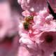 Bee on cherry blossoms, Melbourne, Australia.
