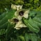 Henbane like that used in Salem and Spanish ointments.