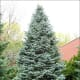 Concolor Fir, also known as White Fir