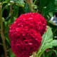 The Cockscomb is a classic Chinese New Year bloom. It is perennially popular during Chinese New Year in Singapore.