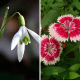 The snowdrop (left) and pink Dianthus (right) are two of January's birth-flowers.