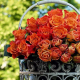 60 Roses