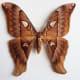 A preserved female Hercules moth