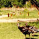 Wild Turkeys in Palo Duro Canyon