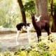 Some twin llamas at Silver Springs, Florida