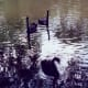 Black swans on the Salado Creek running alongside Los Patios