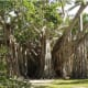 gorgeous Banyan tree at Hugh Taylor Birch State Recreation Area