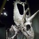The Pentaceratops, the Guinness World Record holder for the Largest Dinosaur Skull ever Discovered.