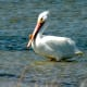 White Pelican at Padre Island National Seashore