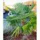 Oklahoma Palm Trees: The Chinese Windmill Palm Tree