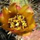 Staghorn cactus blossom.