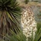 Yucca in bloom.