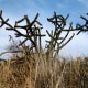Staghorn cactus.