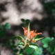 """The """"Paintbrush"""" plant.  These are not actually flowers, but modified leaves called """"bracts""""."""