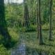 The Cypress Swamp - one of the great natural habitats of Florida. This primeval habitat now forms part of the Silver Springs Theme Park