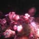 'Alive' dead man's fingers in an aquarium