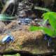 Blue Frogs