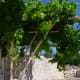 Our grape vines—not a vineyard but a small crop of grapes will do us nicely.