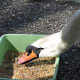 A mute swan being fed by a park naturalist