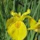 A yellow flag iris flower in Stanley Park