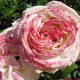 A flower in the Stanley Park rose garden