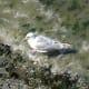An immature gull