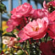 Cultivated roses by the Hasting Street pedestrian overpass