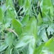 The broadleaf arrowhead plant or duck potato