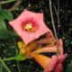 Trumpet flower vine