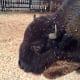 A friendly buffalo