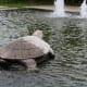 Turtle stone ornament in Misibis Bay Resort
