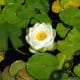 A white water lily