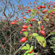 Colourful rose hips