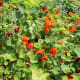 The flowers and young leaves of nasturtiums are edible. The flowers have a peppery taste.