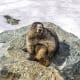 A hoary marmot posing at Whistler Blackcomb