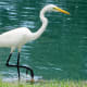 Great Egret in the water at the Houston National Cemetery