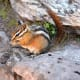 Chipmunk near St. Mary Falls @ Glacier National Park
