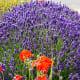 Washingon Lavender Farm in Sequim, Washington