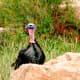 Turkey at Cheyenne Mountain Zoo in Colorado Springs, Colorado