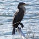 FL Cormorant at First Landing State Park in Virginia Beach, Virginia.