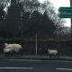 Watch out for livestock and lambing season!